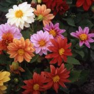 Dahlia Early Bird Mix - 150 seeds
